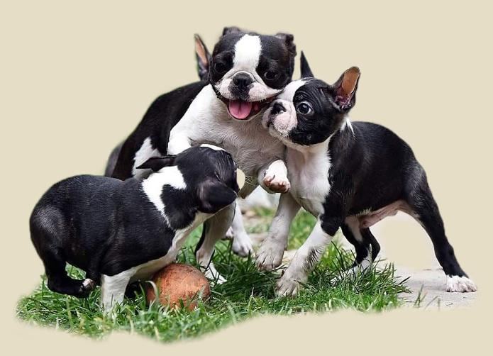 Boston Terrier, Invictus Boston, Invictus Boston Terrier, Best Boston Terrier, Boston Terrier puppy, Boston Terrier puppies, Boston Terrier Europe, Boston Terrier USA, Boston Terrier of America